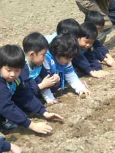 Koala class pats the dirt on top of their potatoes.