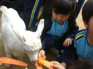 Goat feeding time.